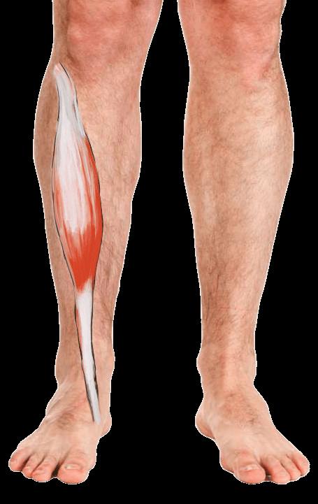 Het verloop van de tibialis anterior spier